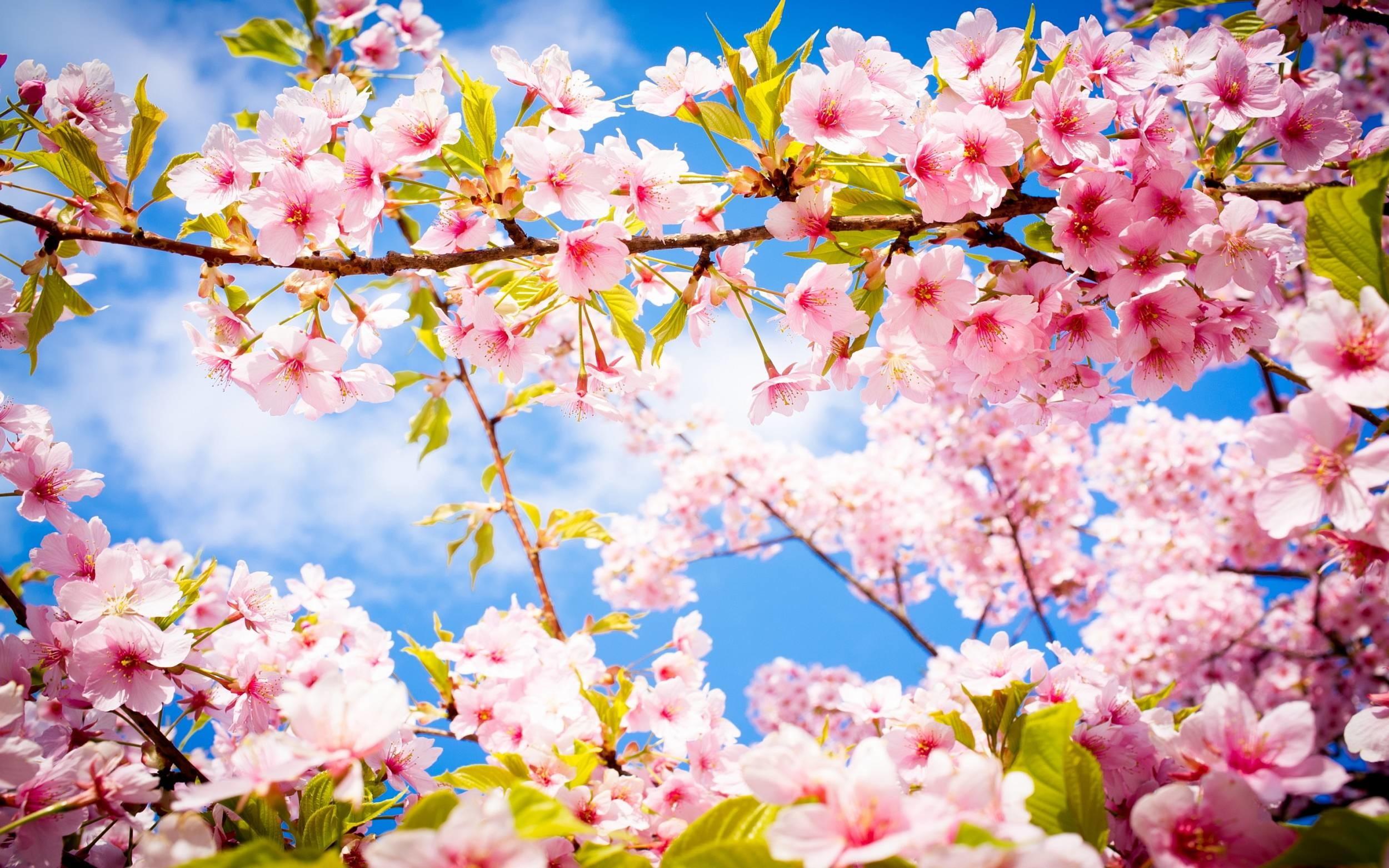 Hình ảnh mùa xuân hoa đào đua nở đẹp