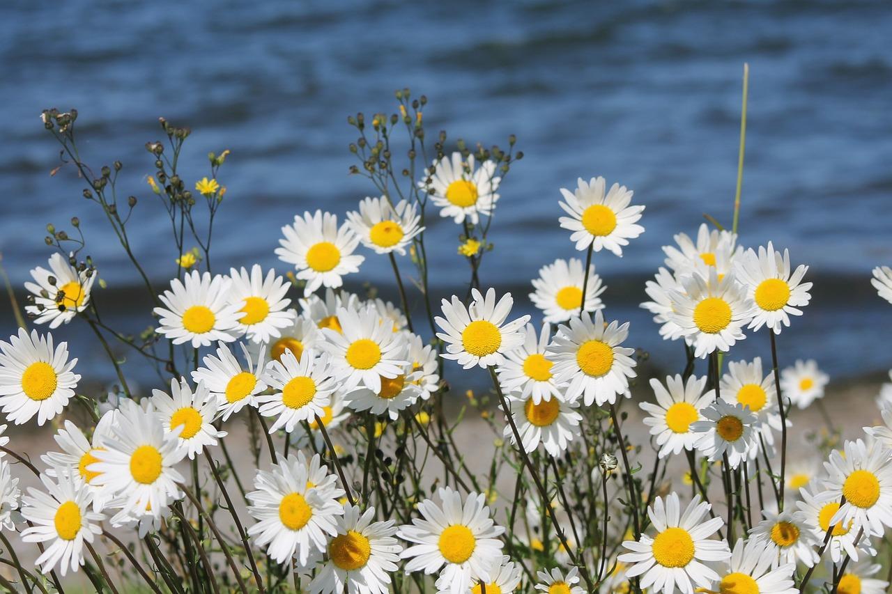 Hình ảnh mùa xuân những bông hoa cúc trắng