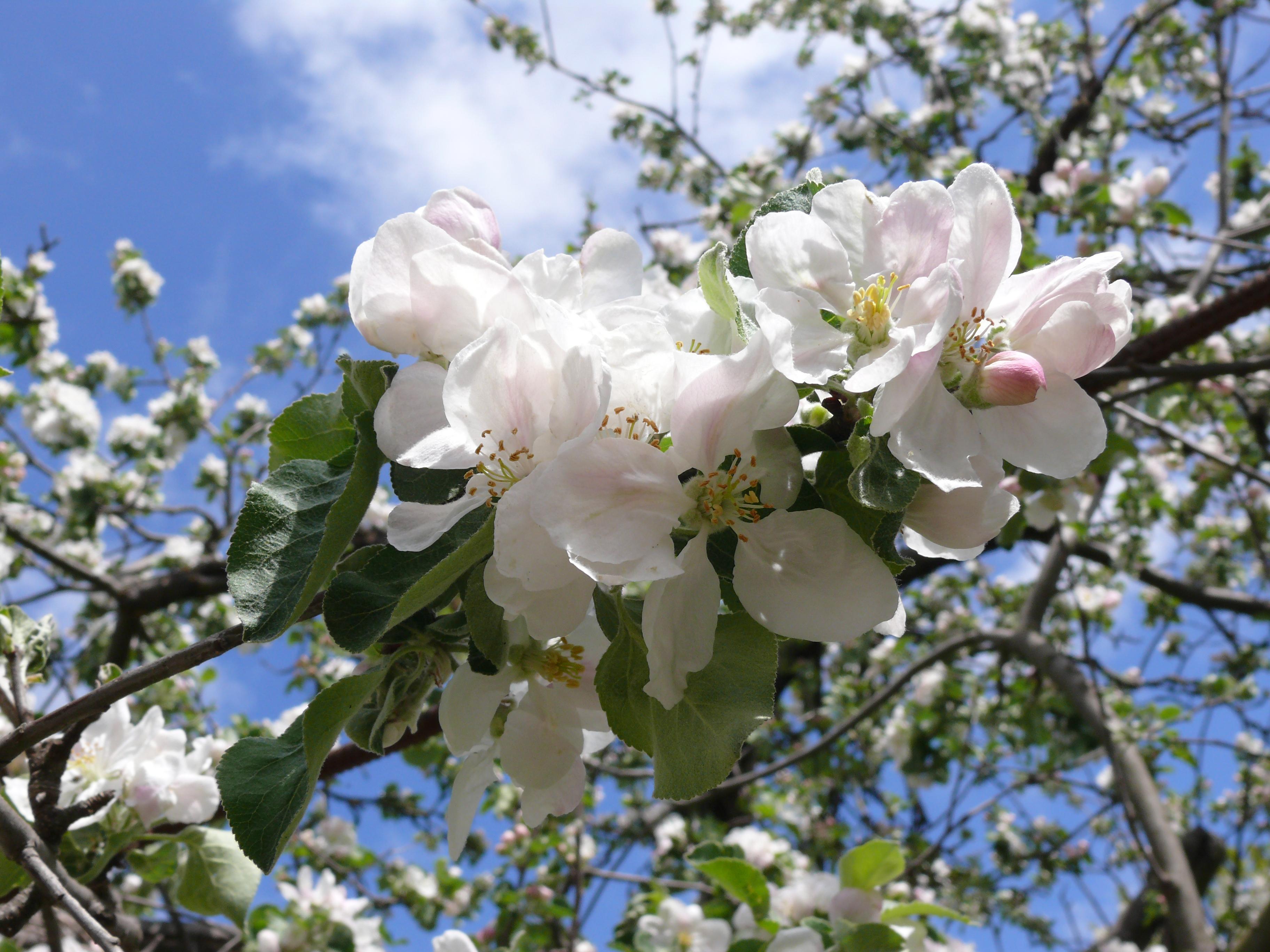 Hình ảnh mùa xuân những cành hoa trắng đẹp