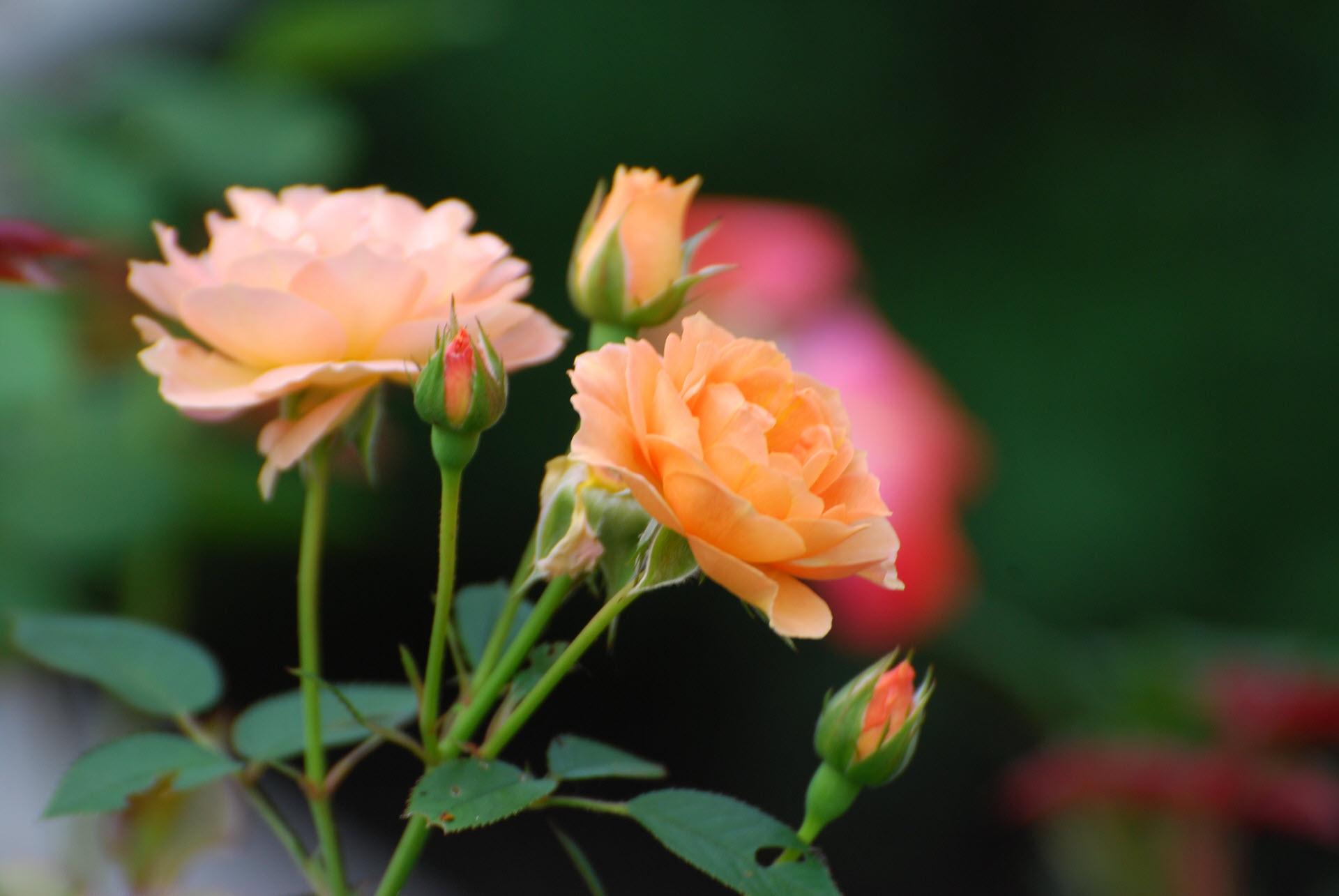 Hình ảnh những đóa hoa hồng cam đẹp