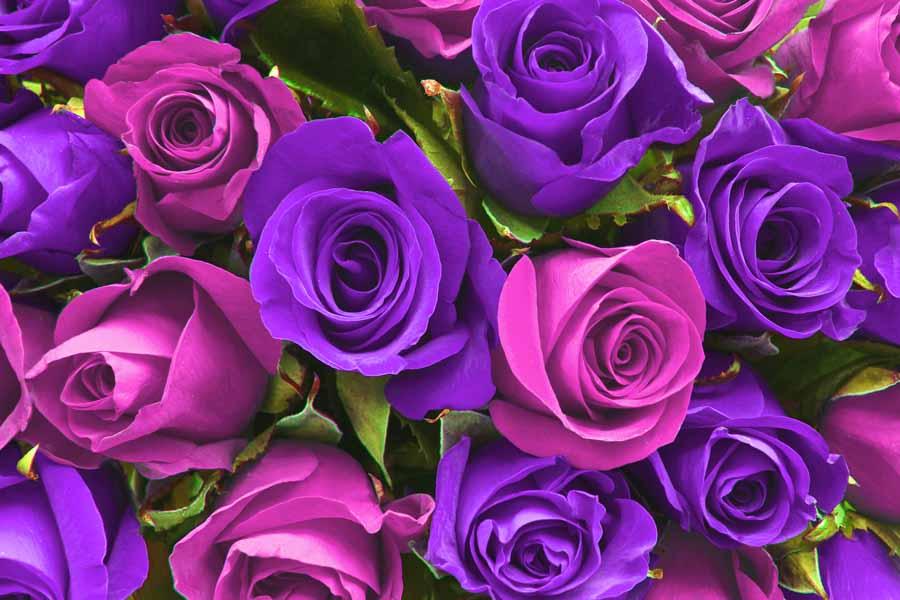 Hình ảnh những đóa hoa hồng đẹp