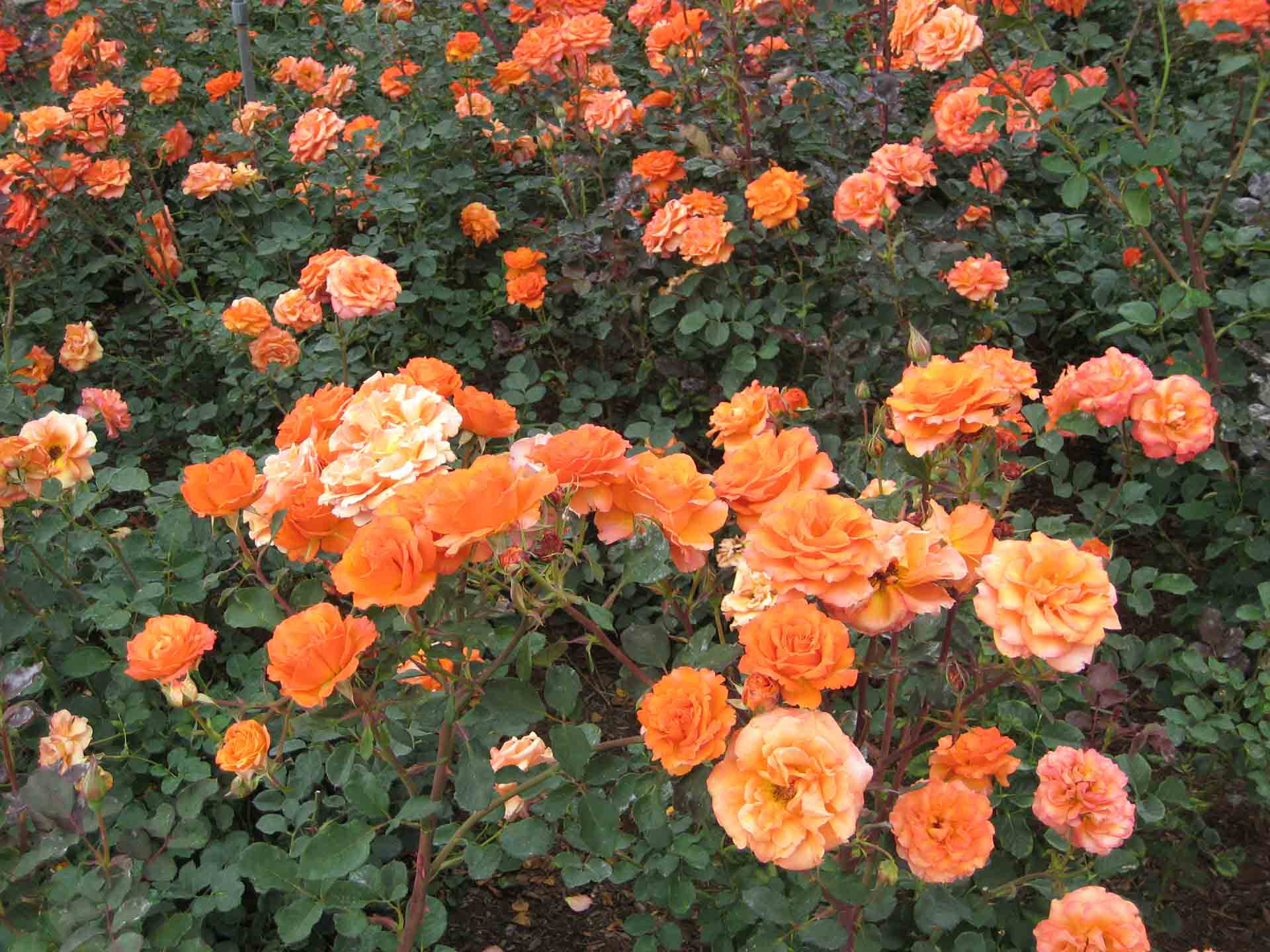 Hình ảnh vườn hoa hồng đỏ cam đẹp