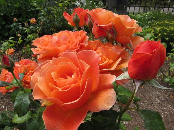 Hình ảnh vườn hoa hồng đỏ cam khoe sắc