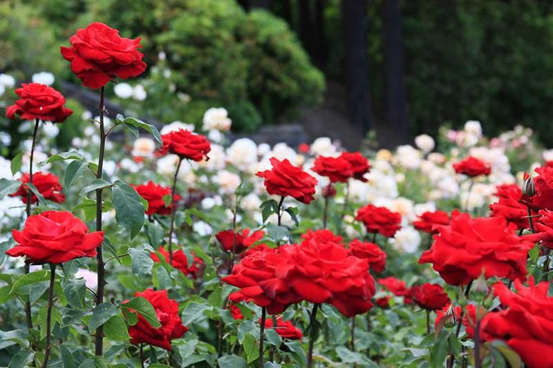 Hình ảnh vườn hoa hồng đỏ trắng đẹp nhất