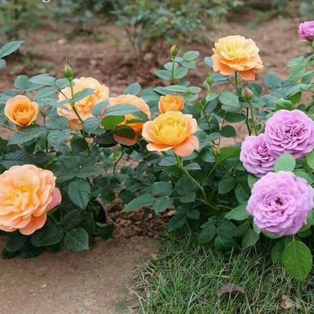 Hình ảnh vườn hoa hồng tự nhiên
