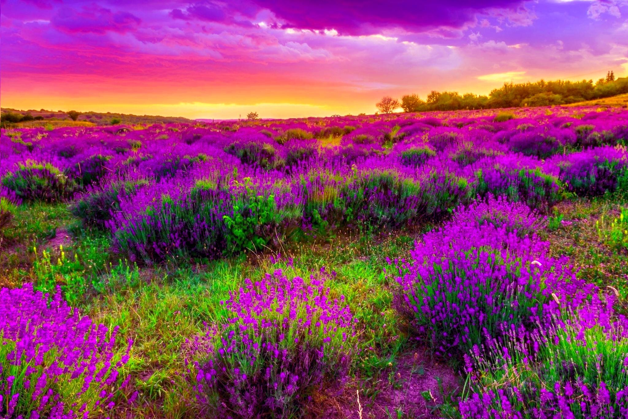 Hình ảnh vườn hoa tím mùa xuân đẹp