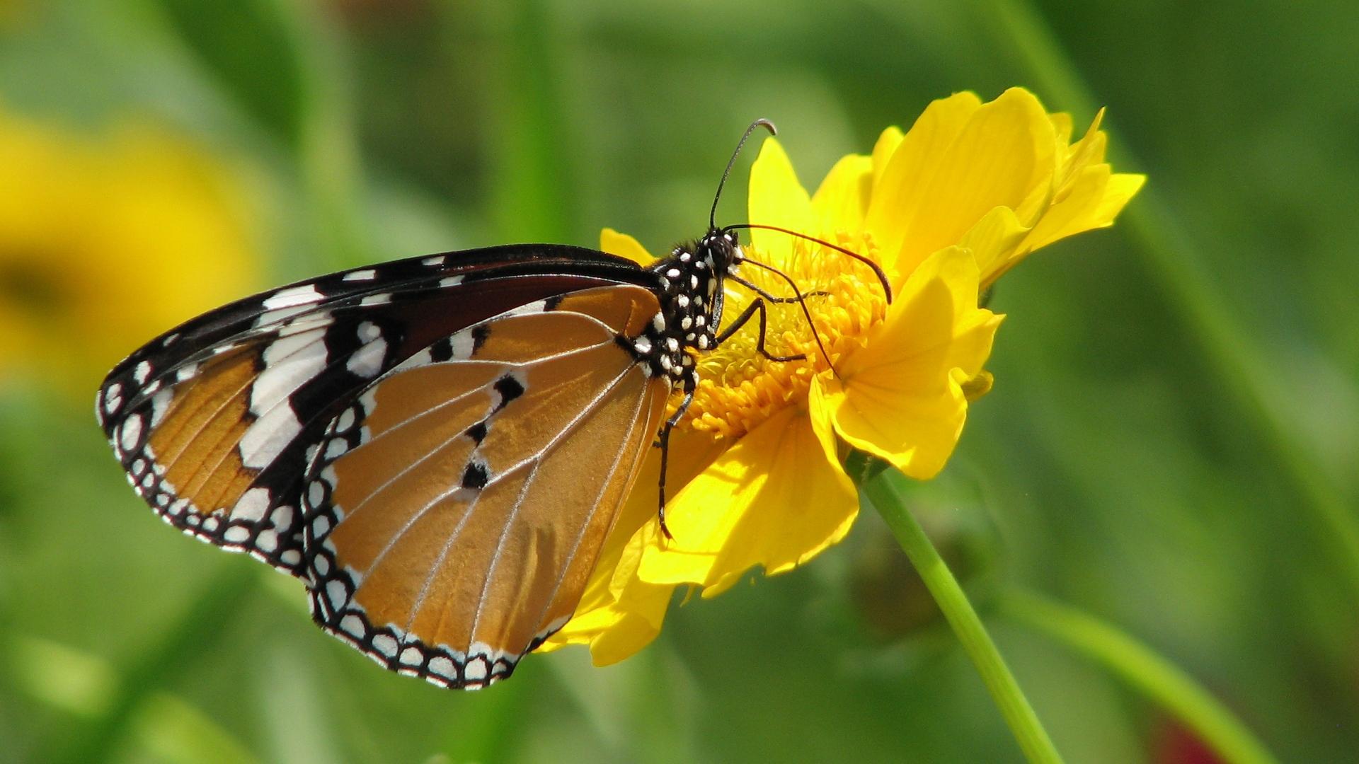 Hình nền mùa xuân hoa bướm đẹp
