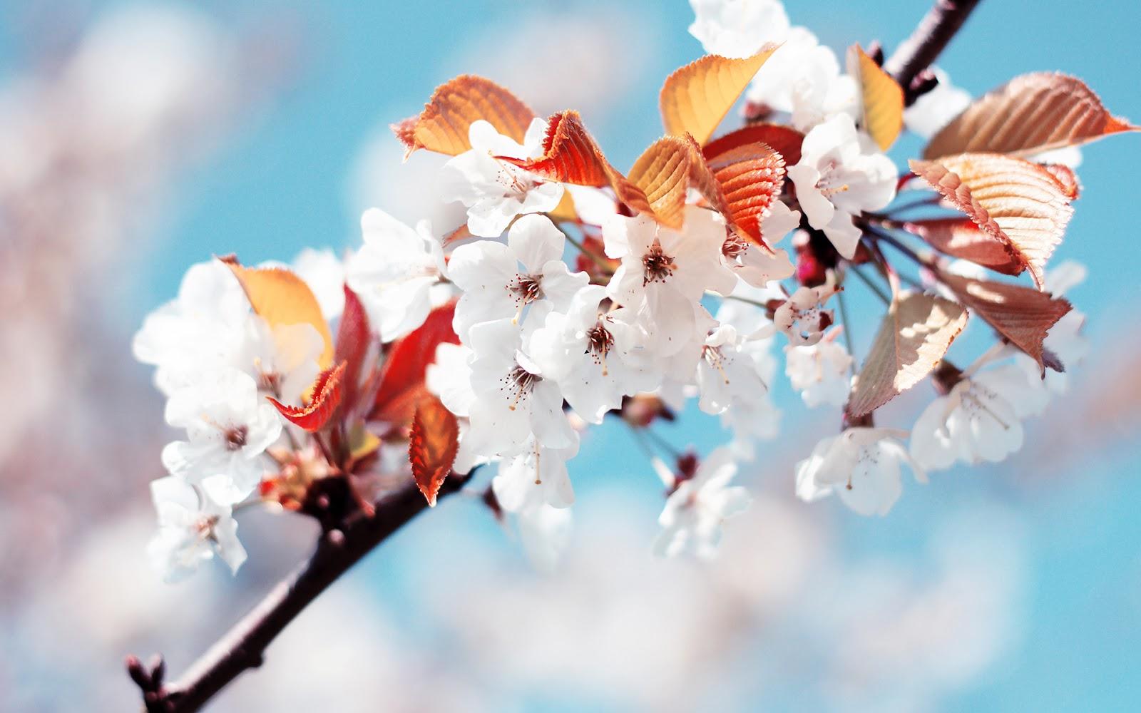 Hình nền mùa xuân hoa trắng đẹp
