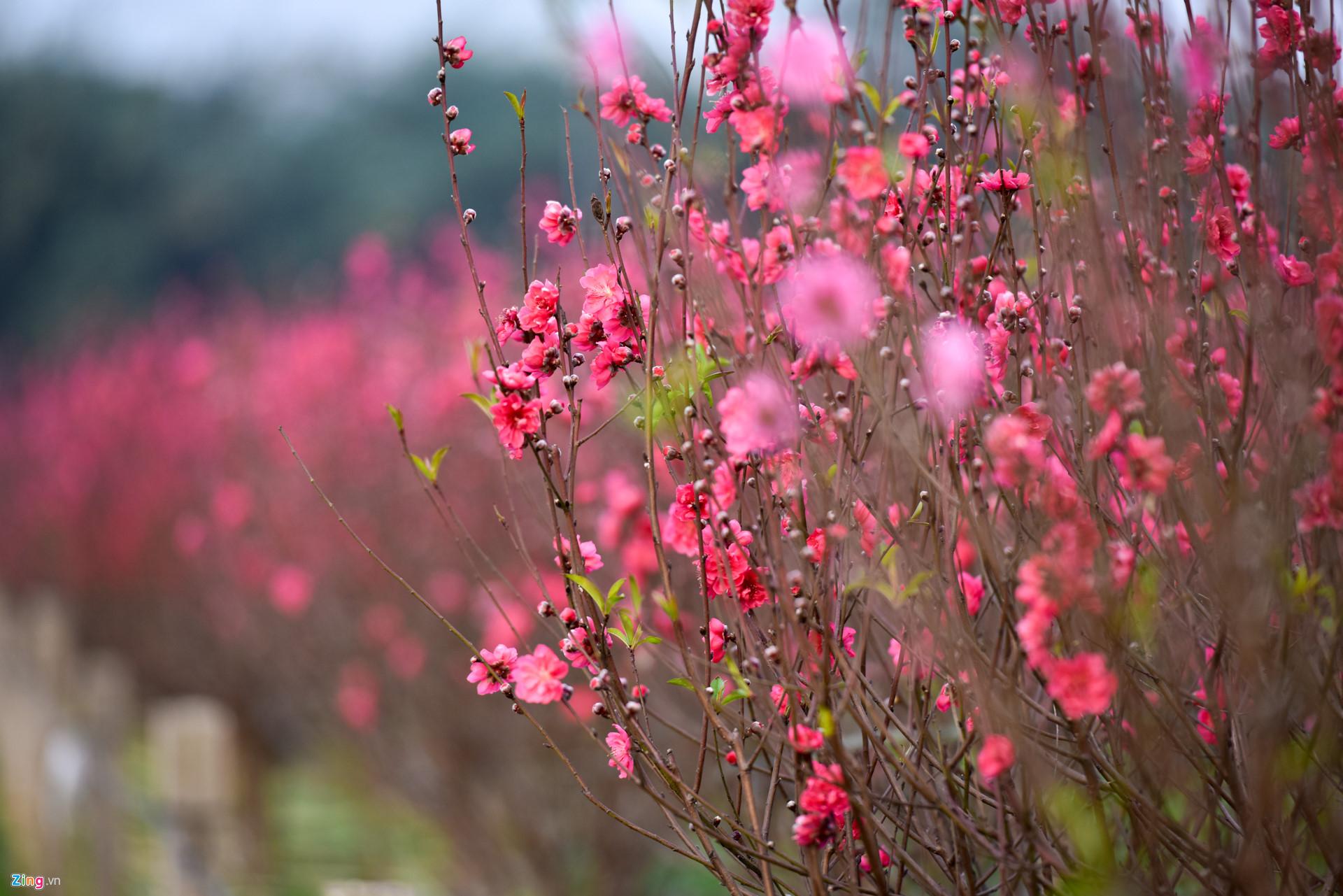 Ảnh hoa đào ngày tết đẹp