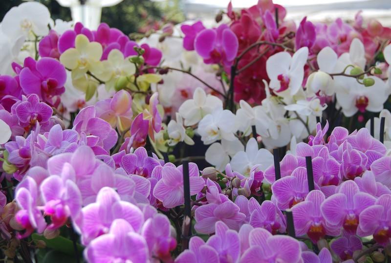 Ảnh hoa lan khoe sắc trong vườn