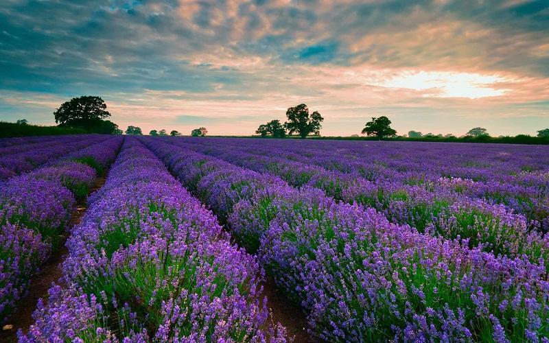 Ảnh vườn hoa oải hương tím lãng mạn đẹp nhất