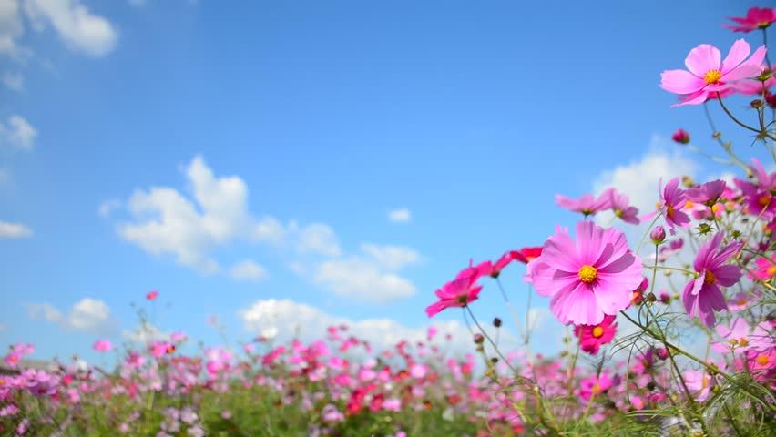 Hình ảnh cánh đồng hoa bươm bướm