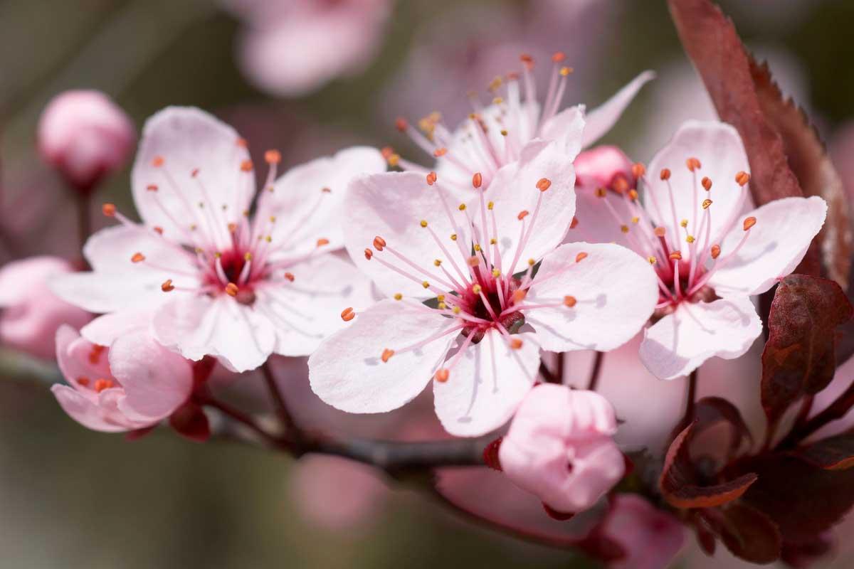 Hình ảnh hoa anh đào đẹp