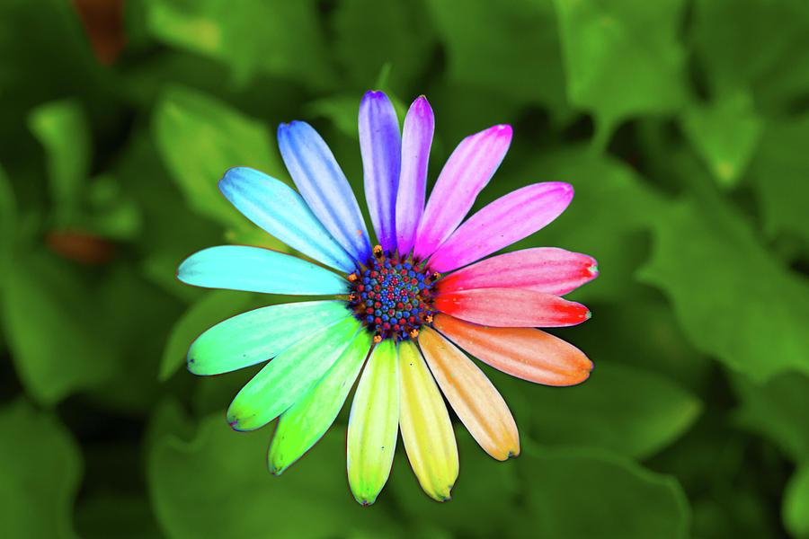 Hình ảnh hoa cúc cầu vồng đẹp