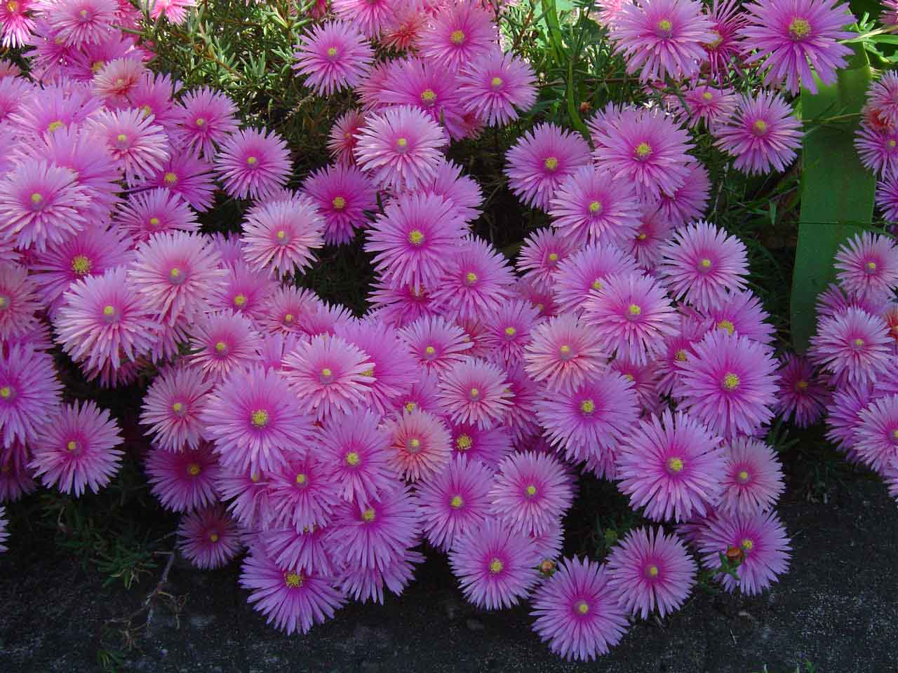 Hình ảnh hoa cúc cực đẹp