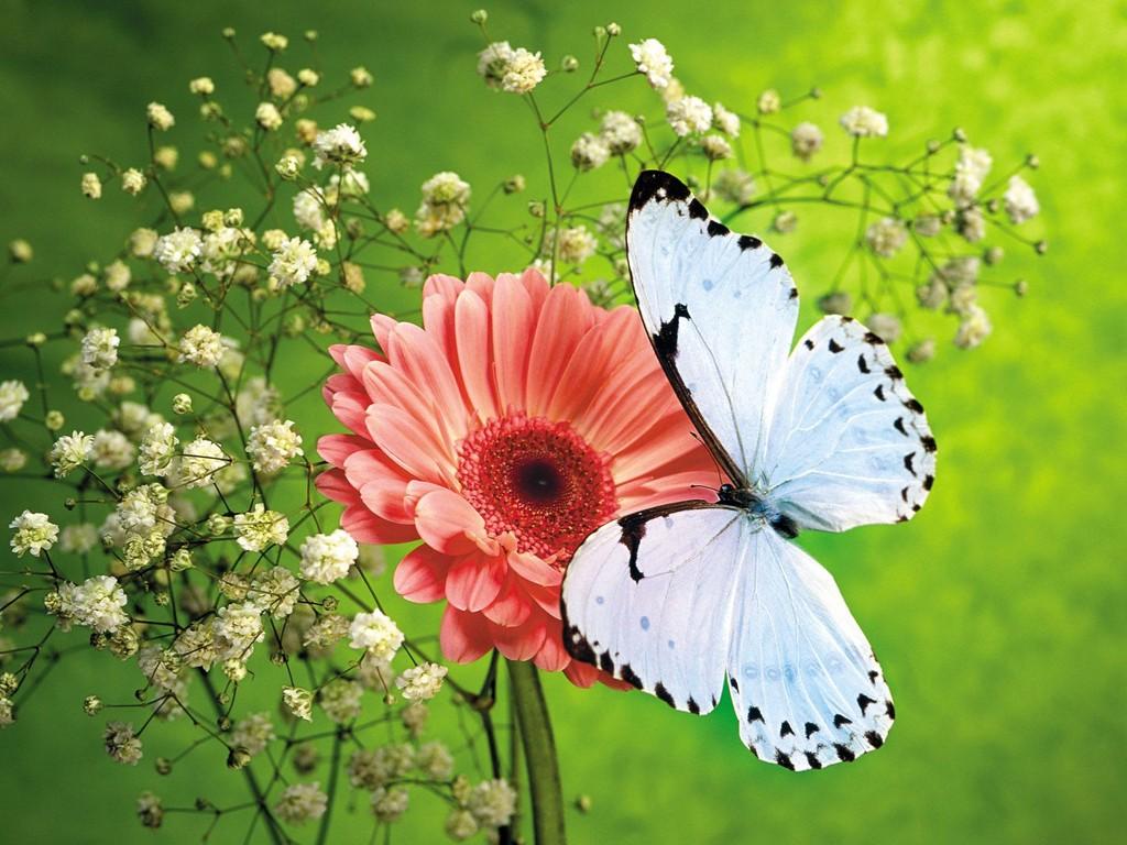 Hình ảnh hoa đồng tiền bên chú bướm