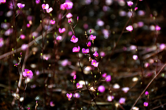Hình ảnh hoa nhĩ đẹp