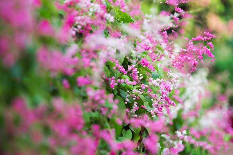 Hình ảnh hoa tigon leo