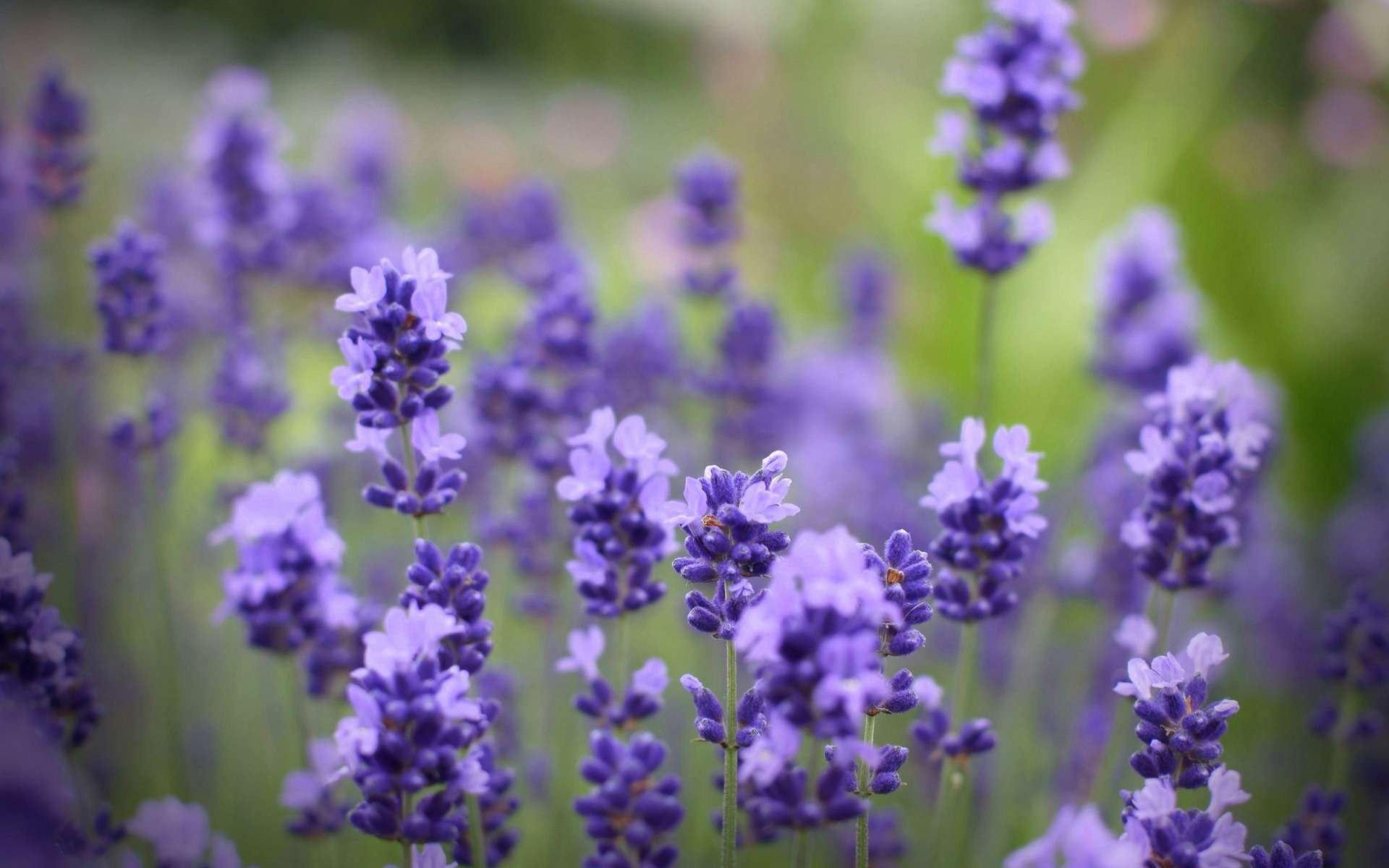 Hình ảnh hoa tím mộng mơ đẹp