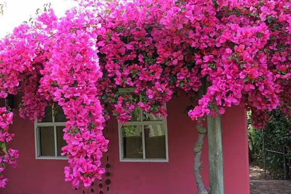 Hình ảnh ngôi nhà hoa giấy đẹp