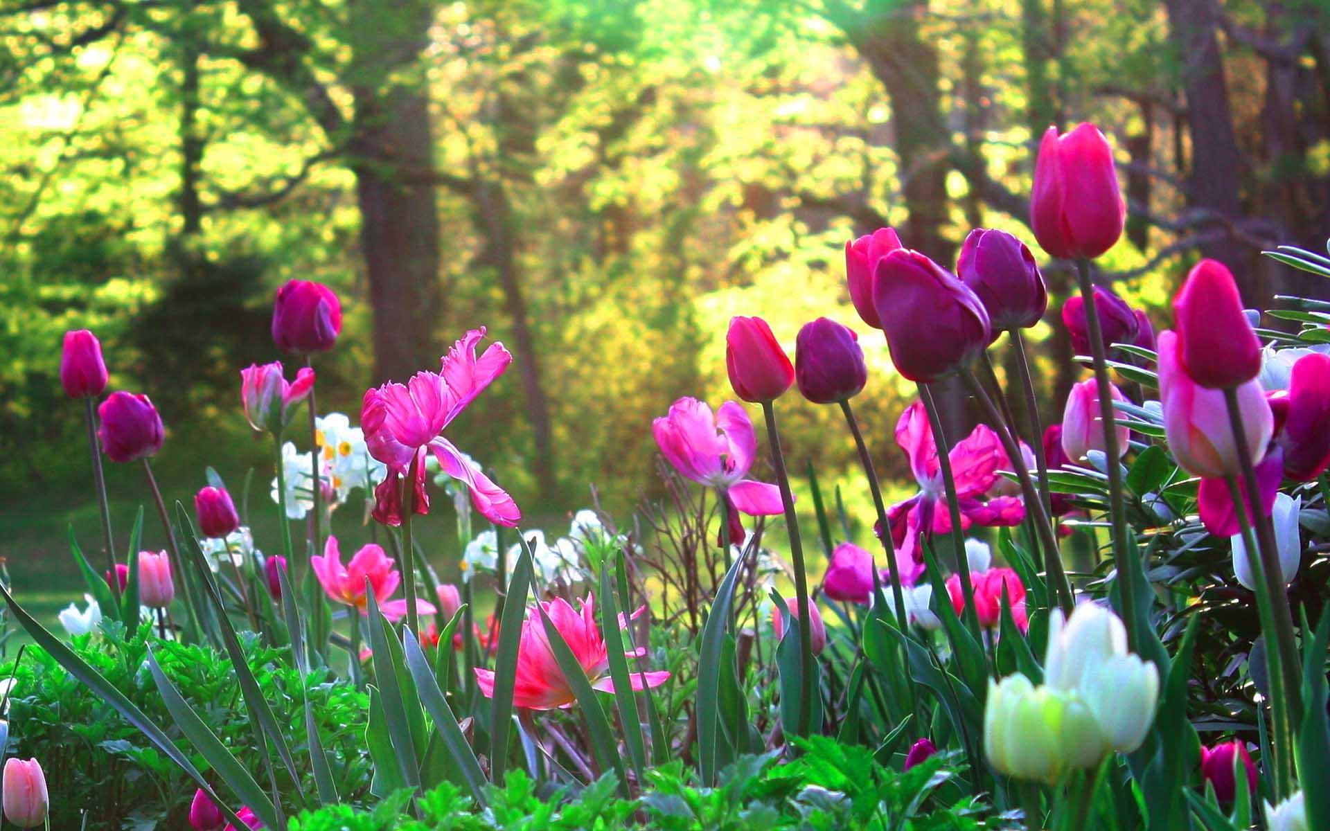 Hình ảnh rừng hoa tulíp đẹp