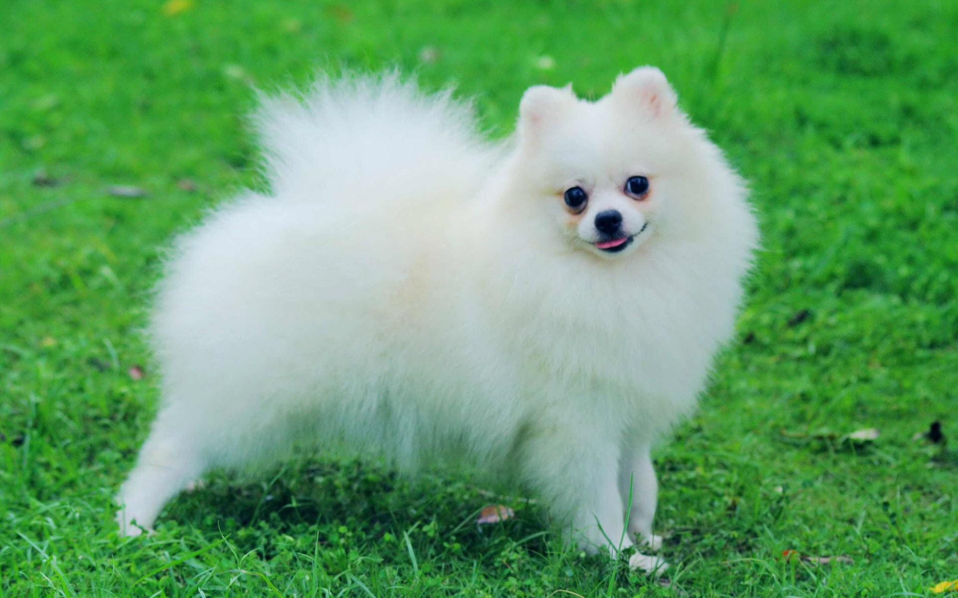 Hình nền chú chó bông trên bãi cỏ xanh đẹp