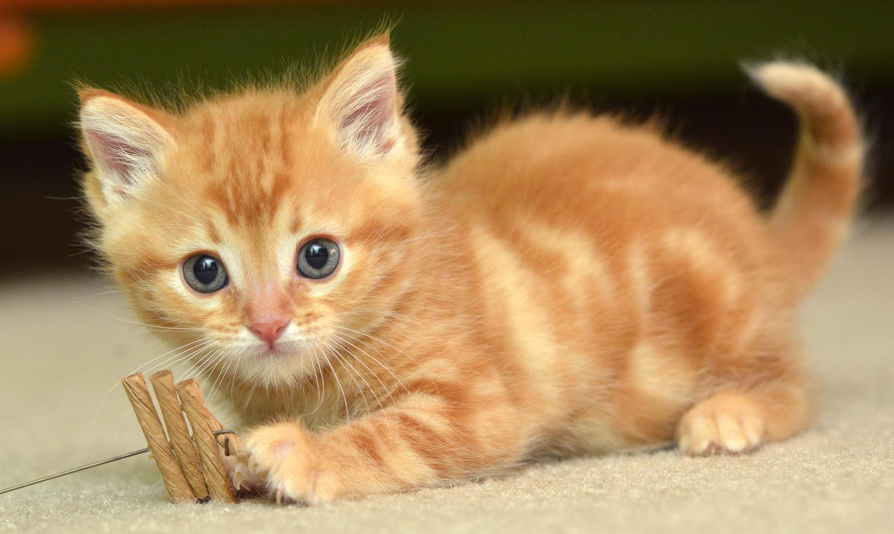 Hình nền chú mèo đáng yêu ngộ nghĩnh