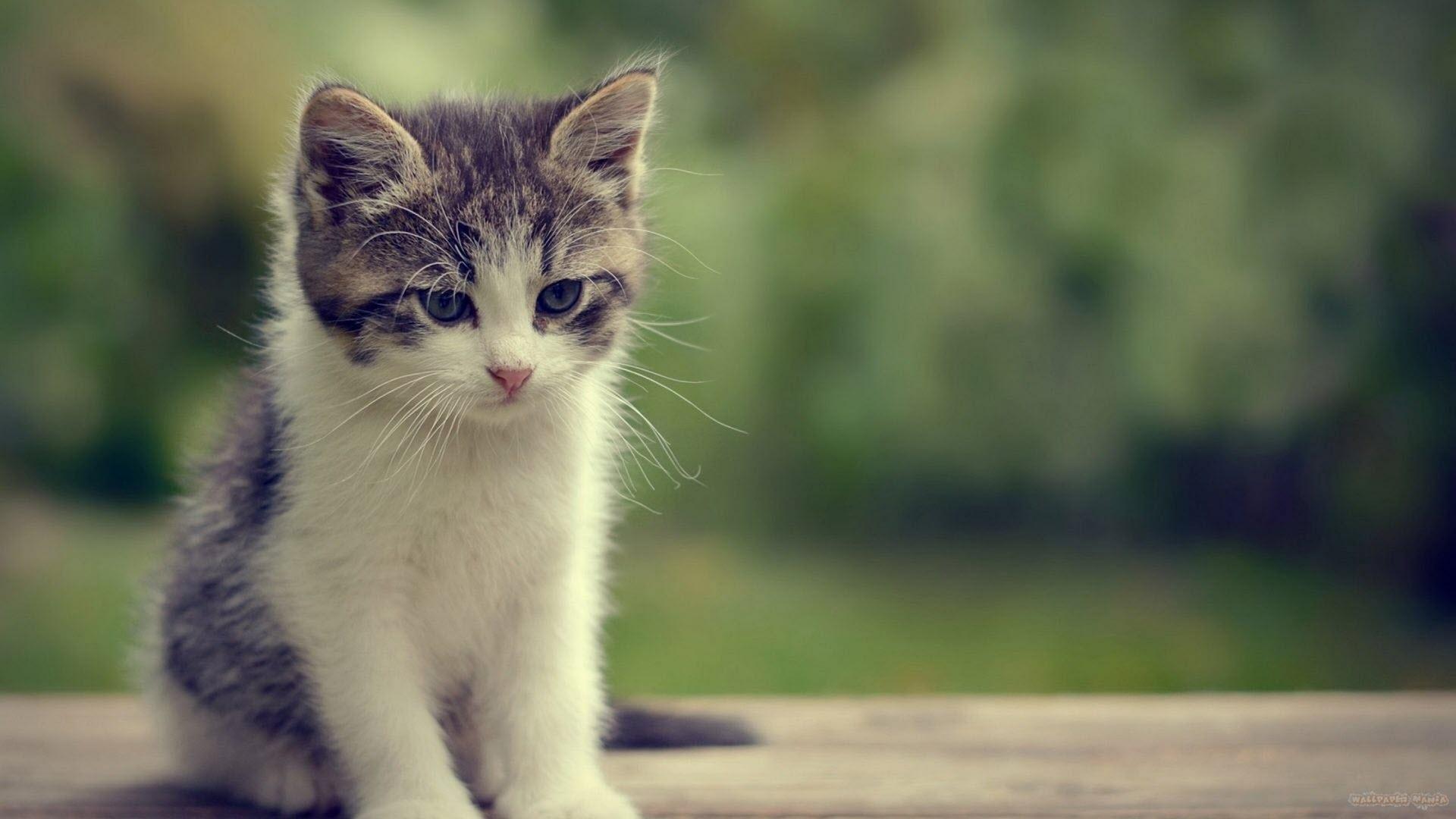Hình nền chú mèo dễ thương nhất