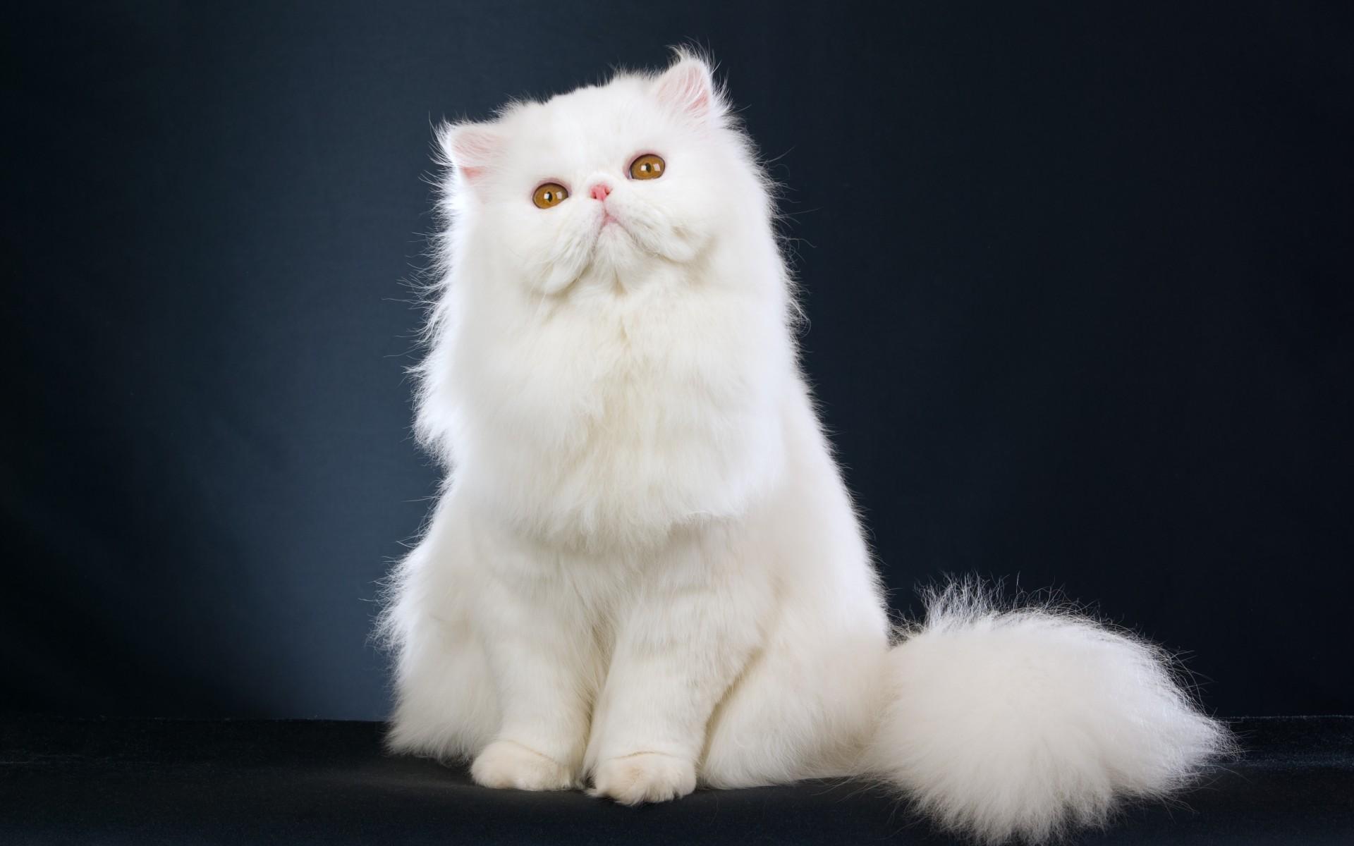 Hình nền chú mèo trắng dễ thương