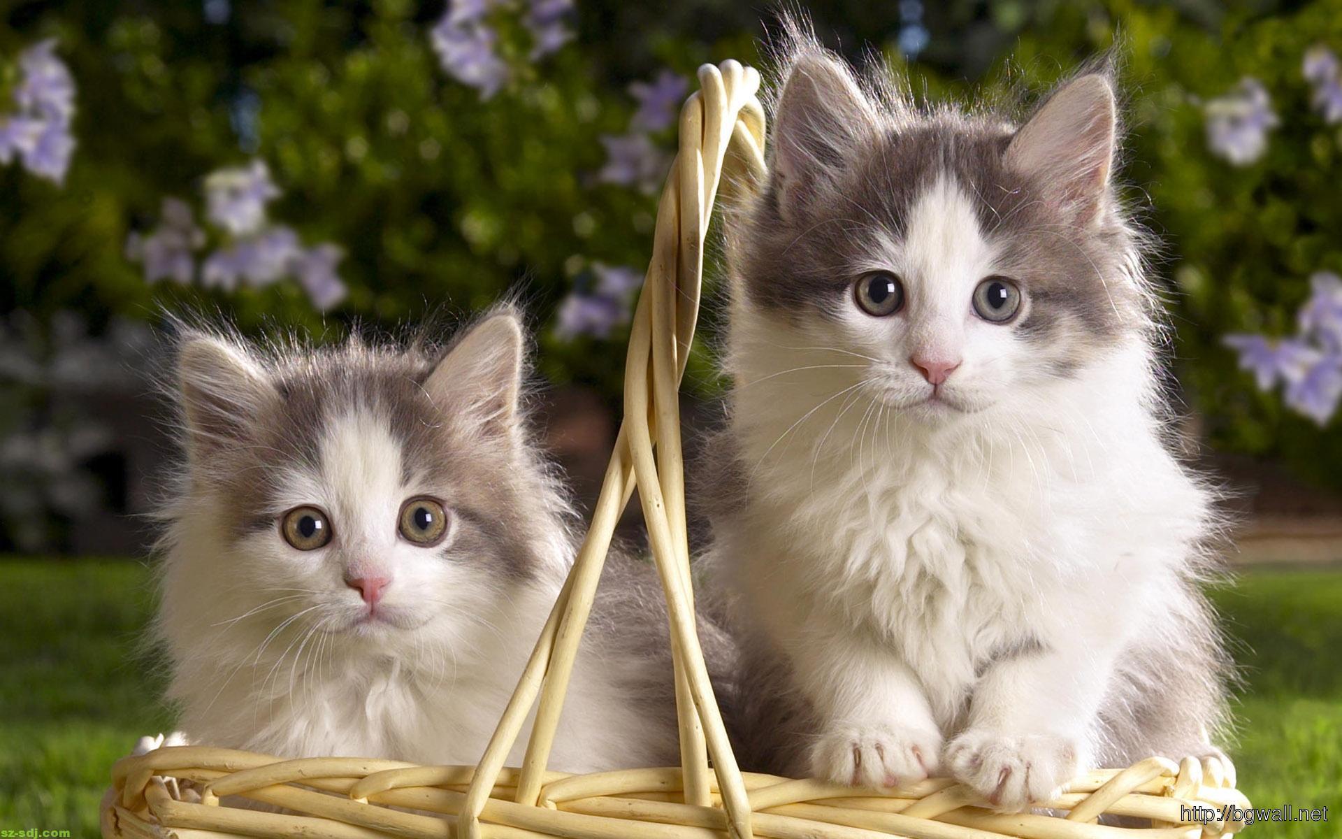 Hình nền hai chú mèo con cực đẹp cho máy tính