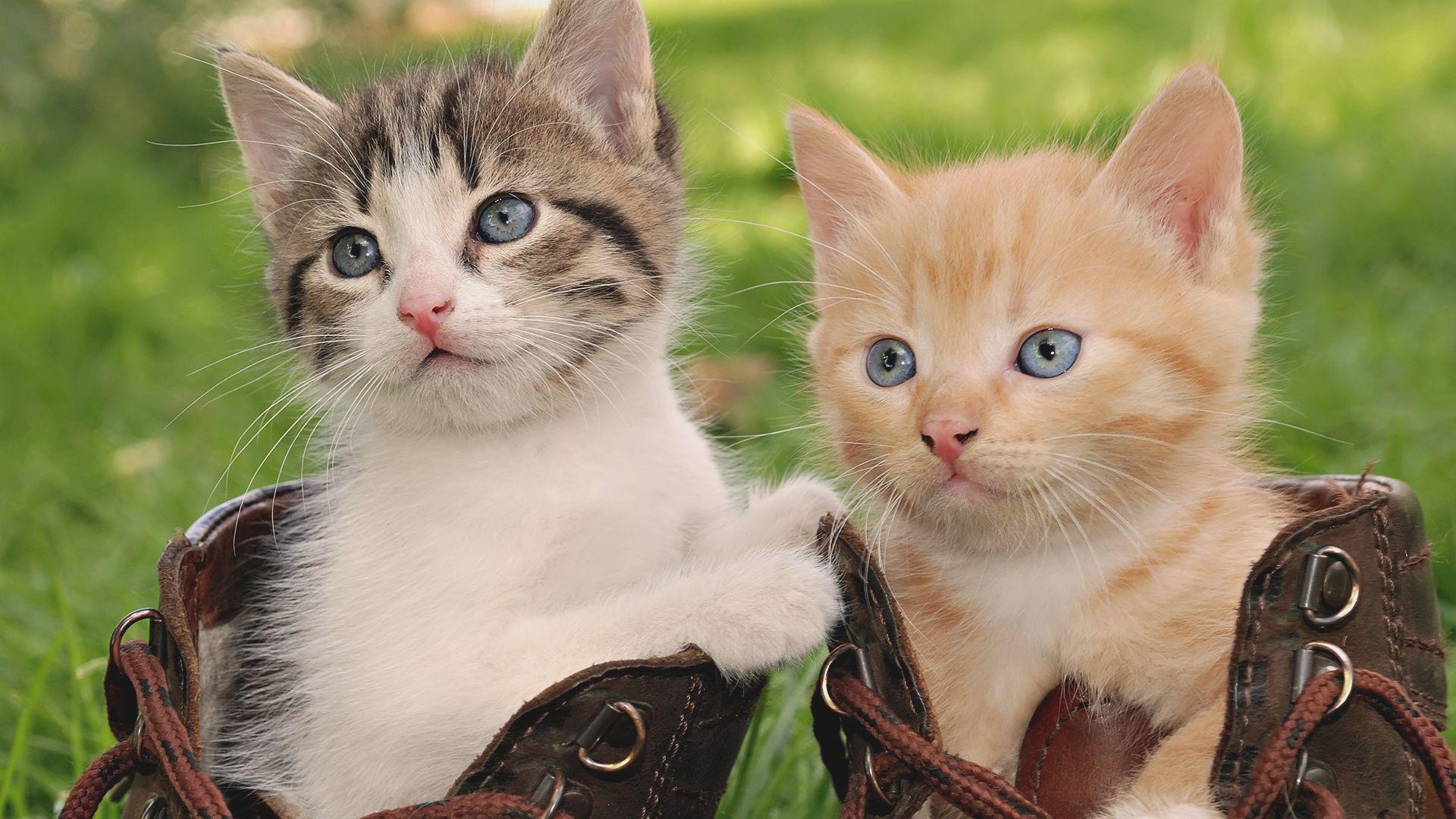 Hình nền hai chú mèo con đẹp