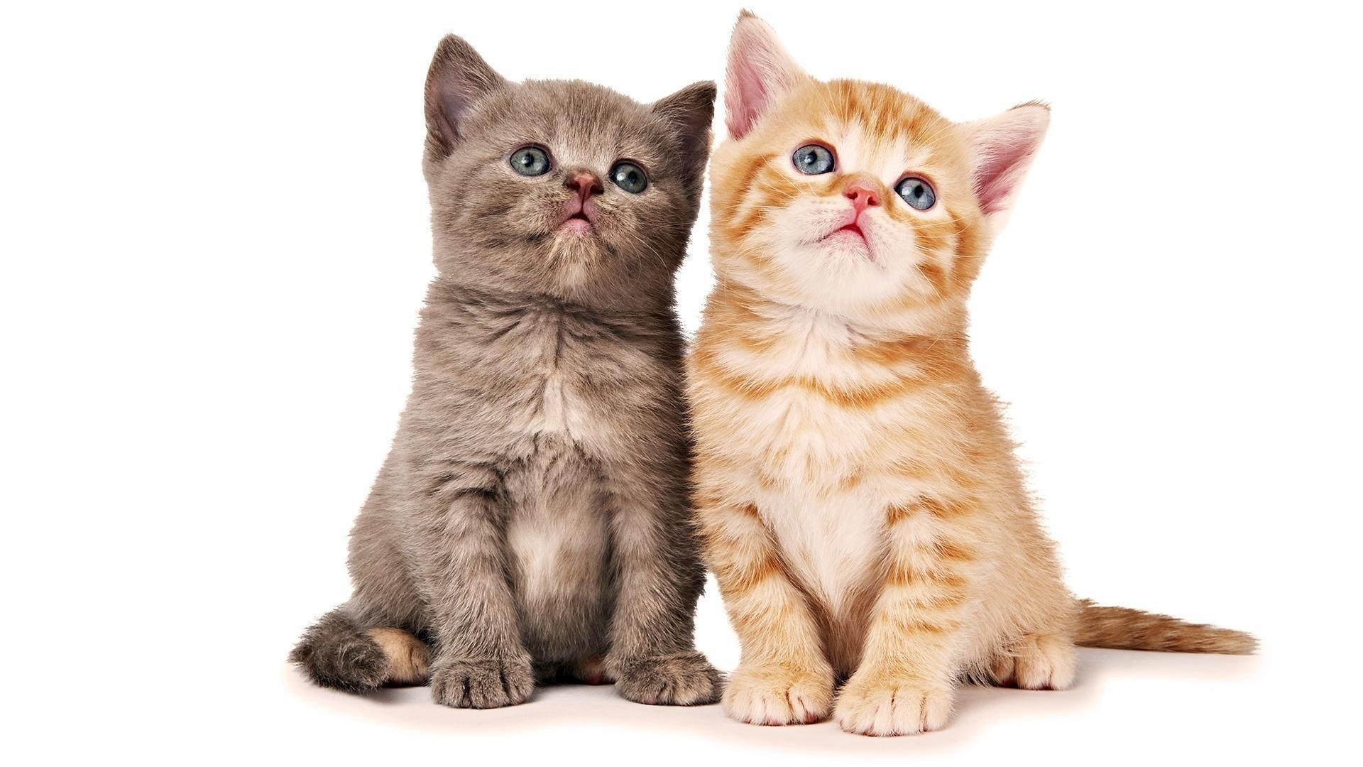 Hình nền hai chú mèo con ngơ ngác đẹp