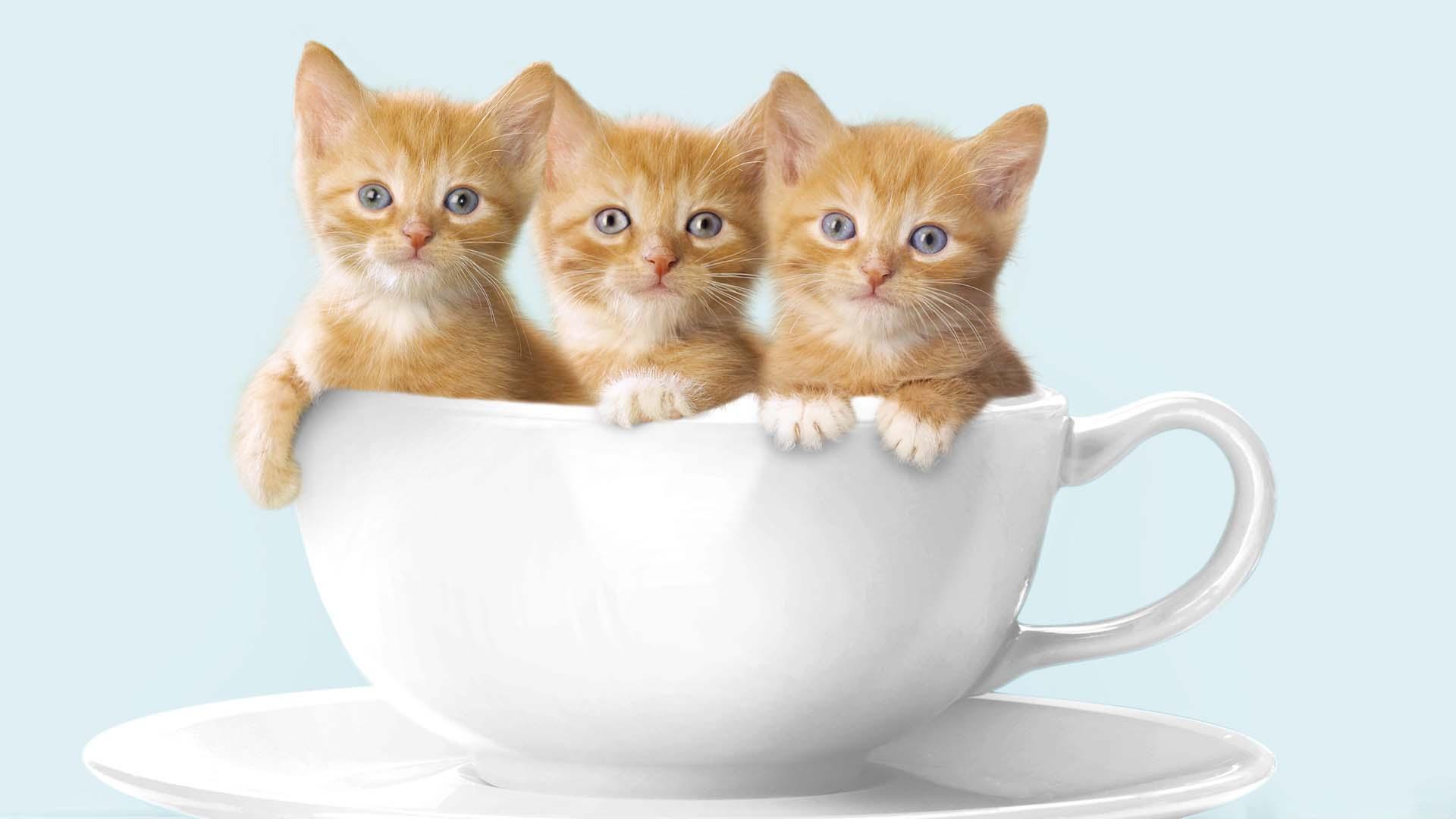 Hình nền những chú mèo đáng yêu cho máy tính