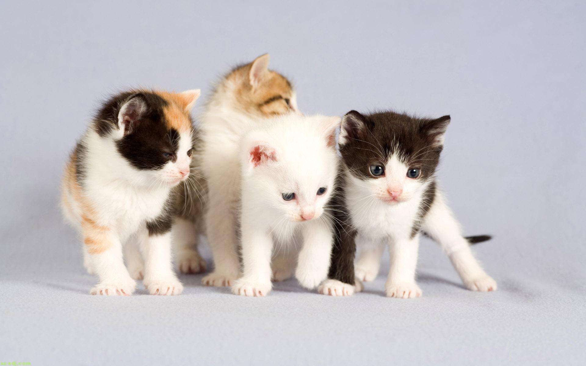 Hình nền những chú mèo đáng yêu ngộ nghĩnh cho máy tính