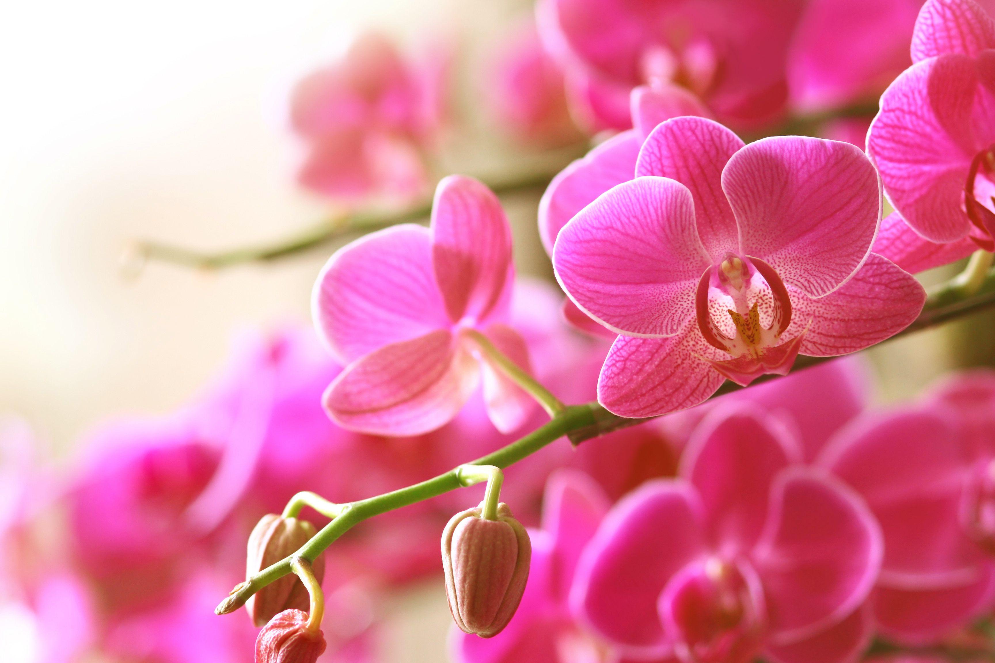 Ảnh nền hoa lan đẹp