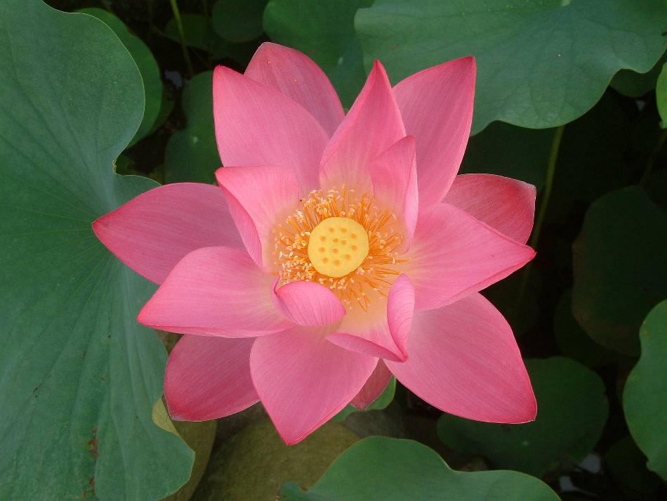 Hình ảnh bông hoa sen tuyệt đẹp