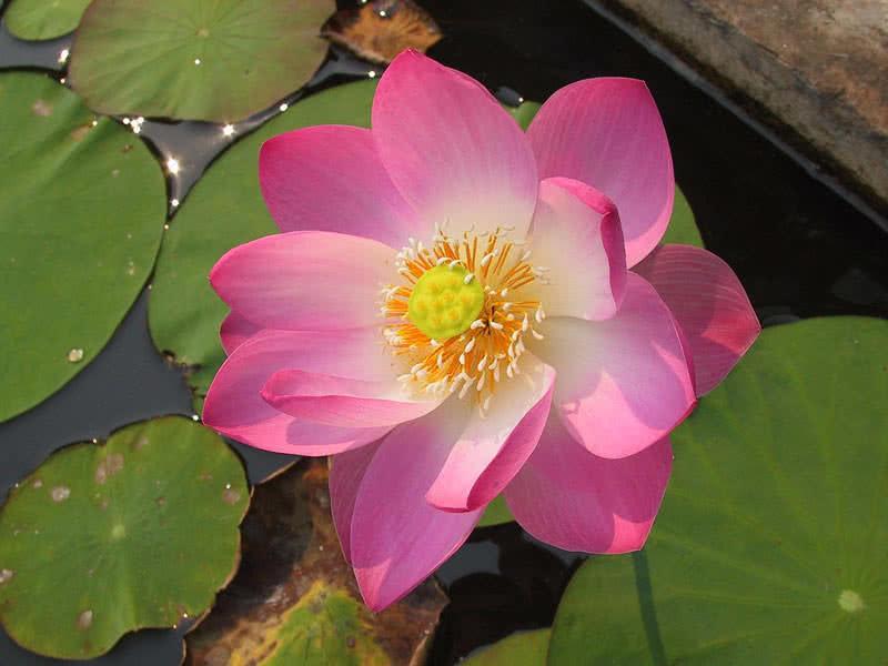 Hình ảnh bông hoa sen