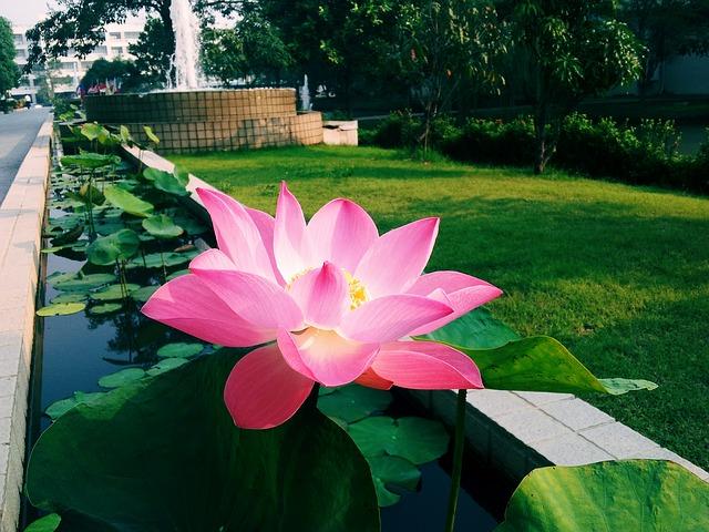 Hình ảnh bông sen hồng cực đẹp