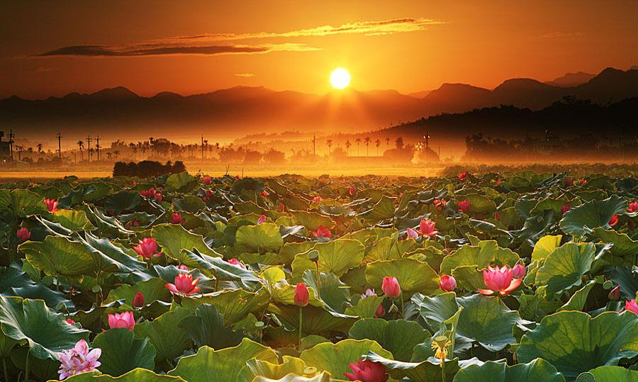 Hình ảnh cánh đồng hoa sen