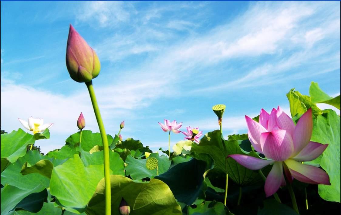 Hình ảnh đẹp về hoa sen