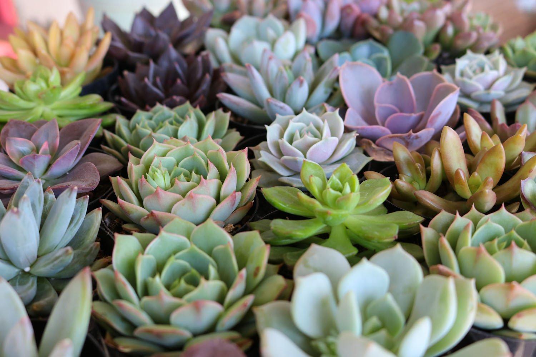 Hình ảnh hoa sen đá đẹp nhất