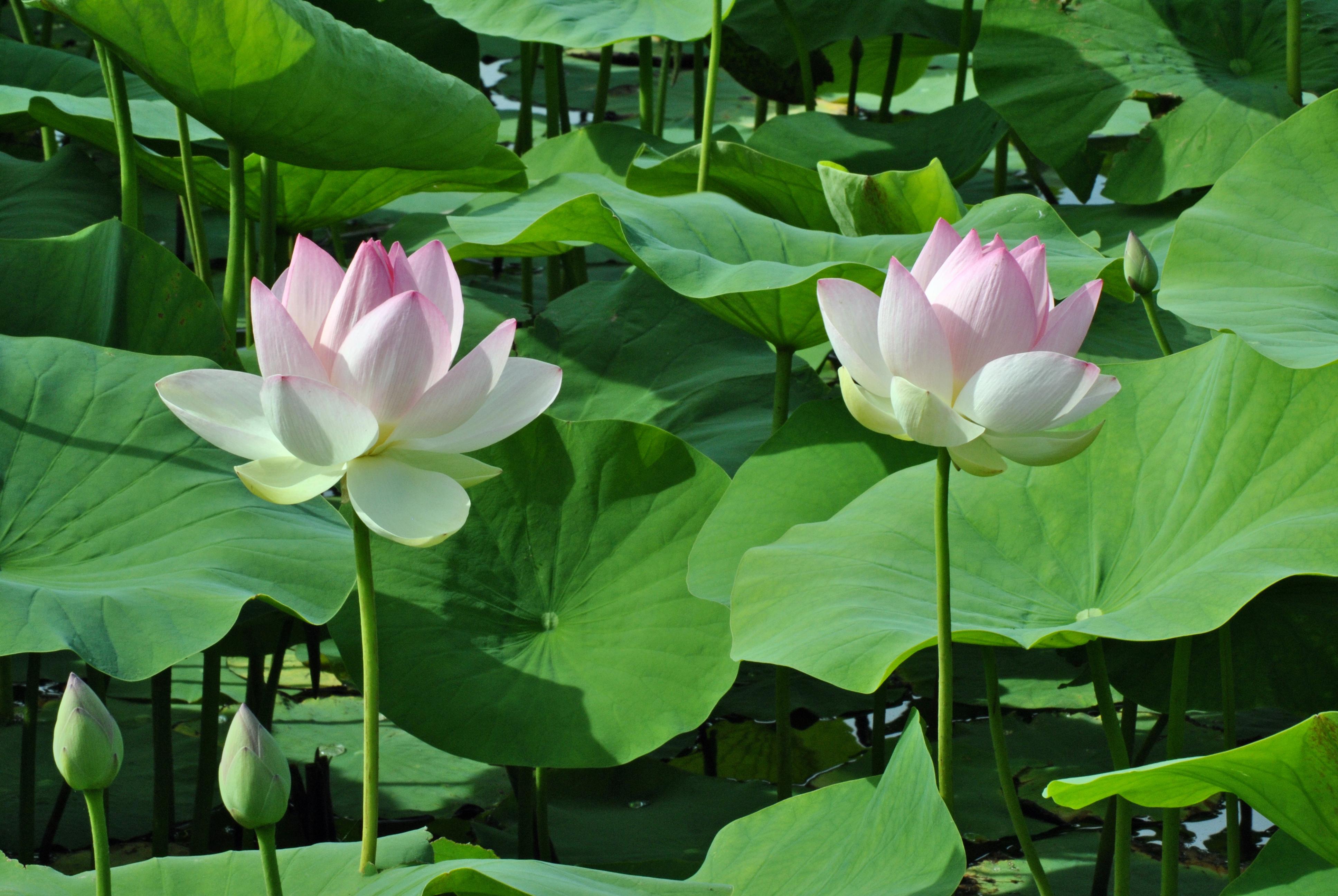 Hình ảnh hoa sen đẹp (2)