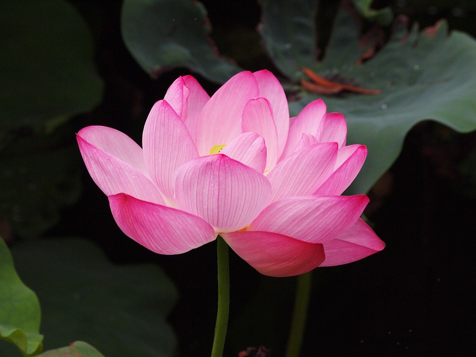 Hình ảnh hoa sen đẹp (3)