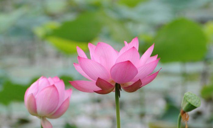 Hình ảnh hoa sen đẹp