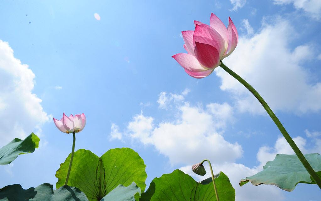 Hình ảnh hoa sen dưới bầu trời xanh đẹp
