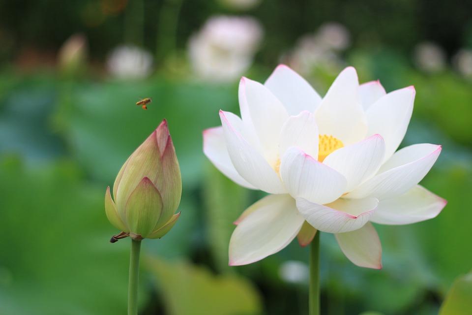 Hình ảnh hoa sen trắng đẹp nhất
