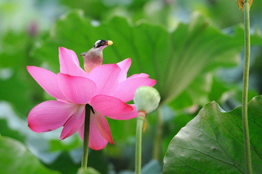 Hình ảnh hoa sen