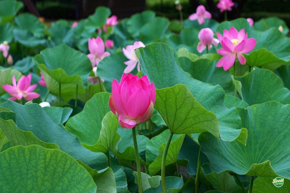 Hình ảnh những bông hoa sen đẹp nhất
