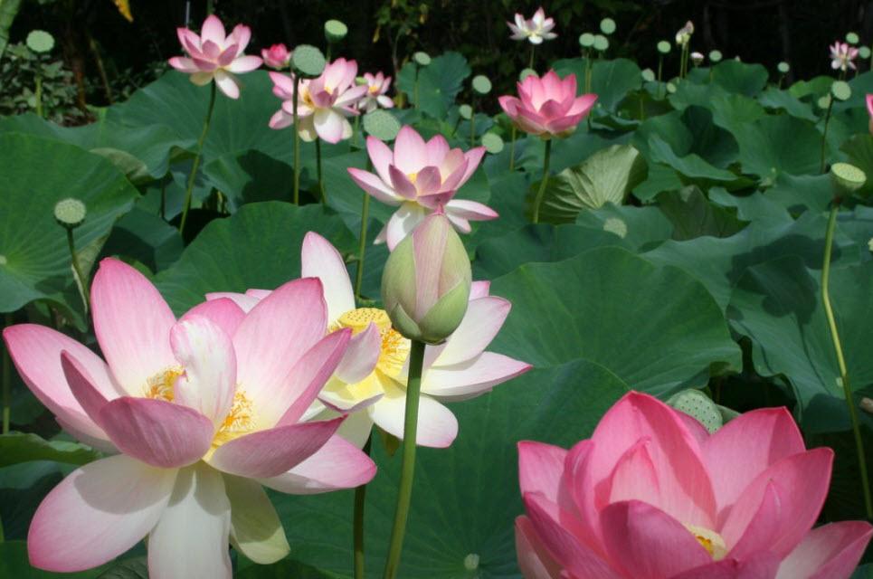 Hình ảnh những bông hoa sen đẹp