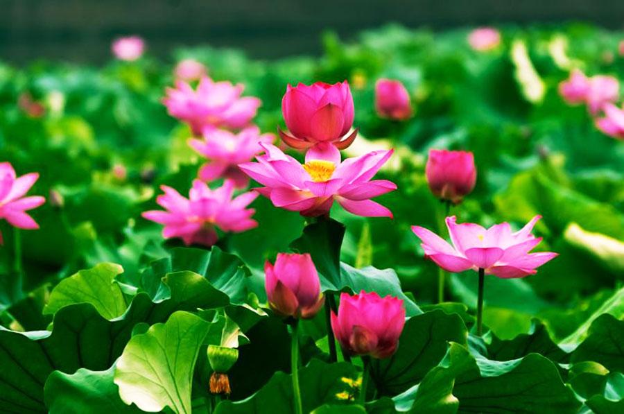 Hình ảnh những bông hoa sen hồng đẹp